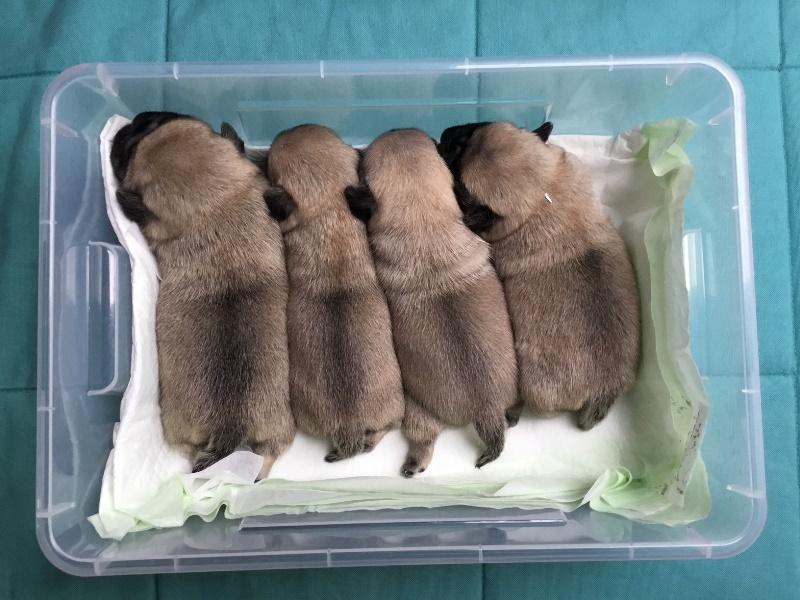 Pug pupies