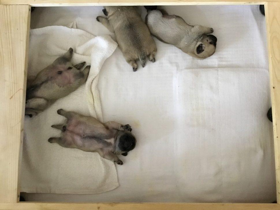 Pug puppies; mops štěňě