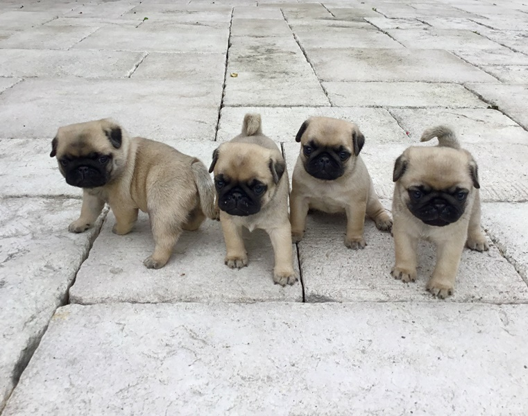 Mops štěně