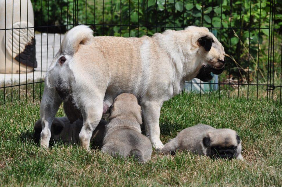 Mops štěně kojení