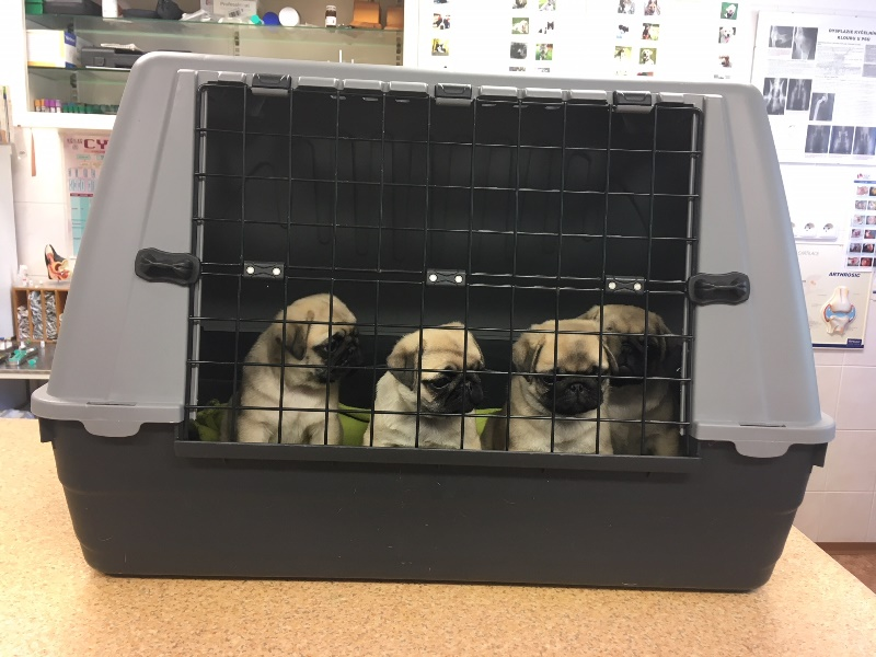 Pug at veterinarian