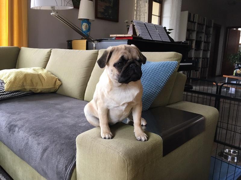 Alba Artegal; pug puppy; mops štěně